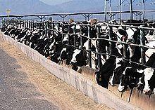allevamento intensivo di vacche