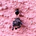 ragno cacciatore di formiche