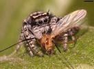 ragno mentre consuma il suo pasto