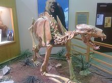 sxheletro di Arctodus simus