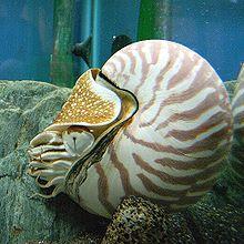 mollusco Nautilus