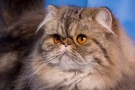 nella foto, in alto: un gatto persiano dal muso piatto