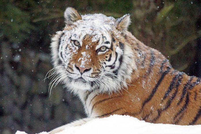 Tigre-siberiana-1-696x464