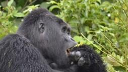 rafiki_gorilla02